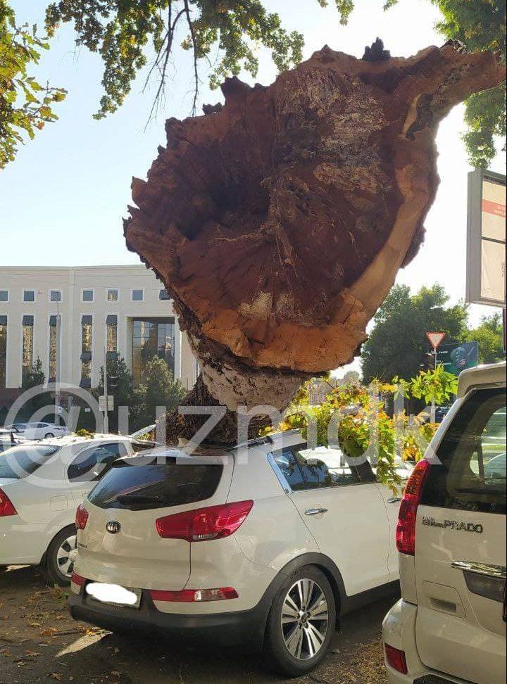 Сорокалетний карагач упал на автомобили в Ташкенте
